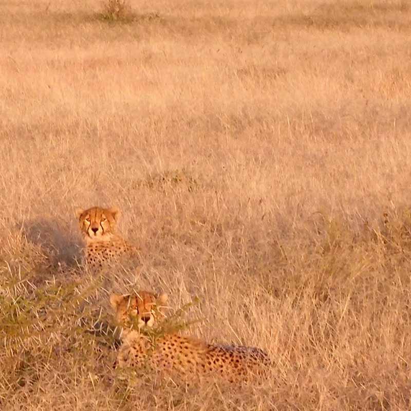 Protection des guépards en Tanzanie - Apogée Voyages